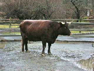 Devon milk cow