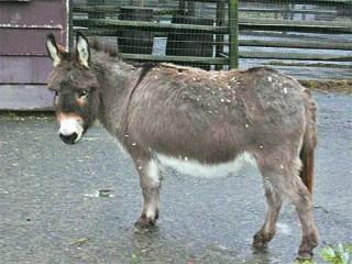 Sardinian donkey