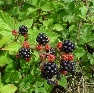 Blackberries_on_bush
