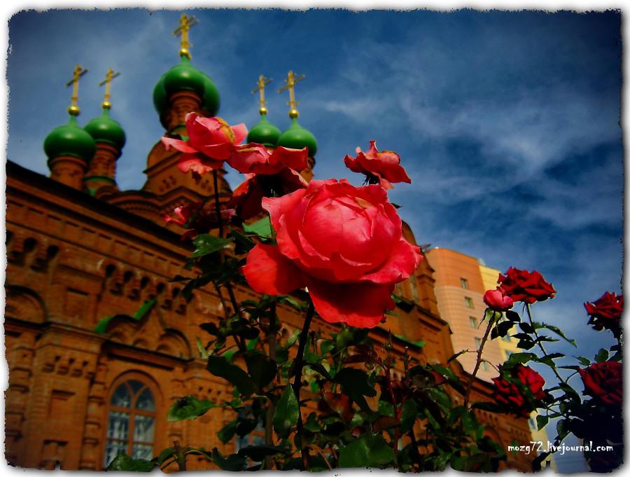 ...алая роза осени