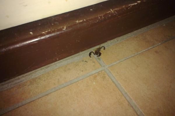 Скорпион в Алло