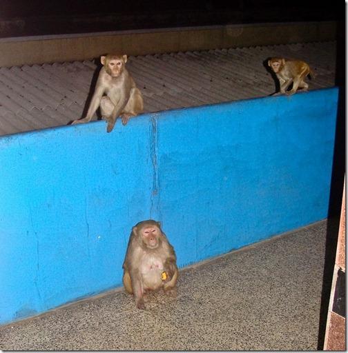 Мавпи на вокзалі Агри