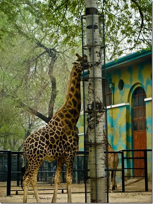 Пекінський зоопарк, жирафа