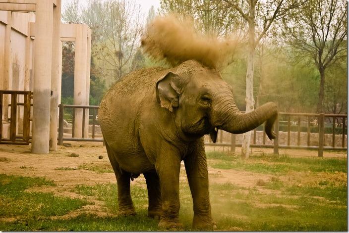 Пекінський зоопарк, слон