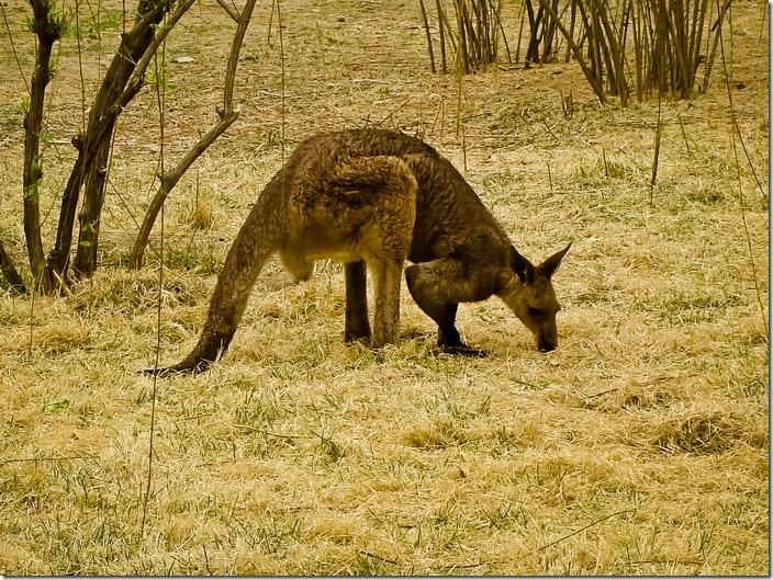 Пекінський зоопарк, кенгуру