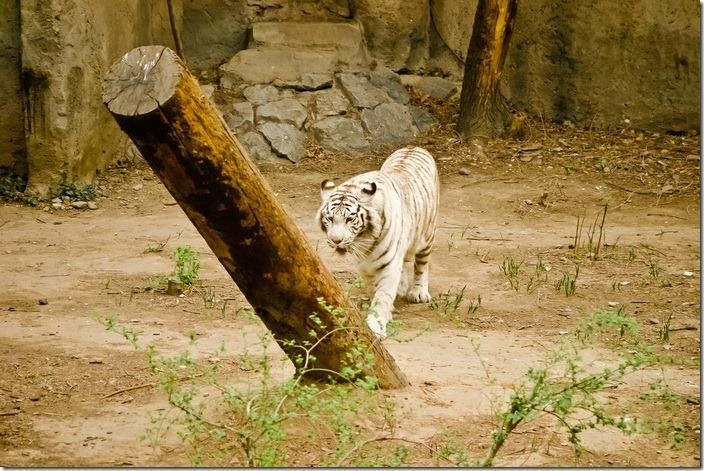 Пекінський зоопарк, амурський тигр