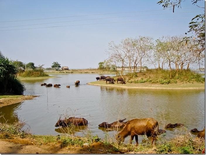 Орісса, водяні буйволи