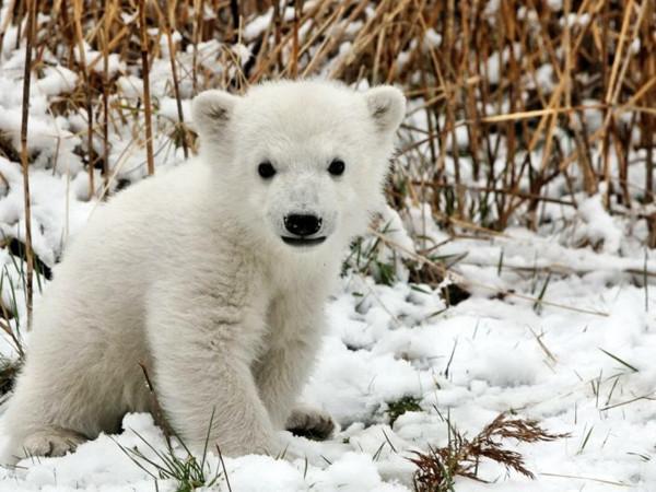 animals-polar-bears-1920x2560