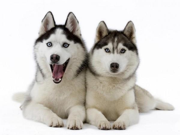 siberian-huskies-wallpaper-1600x1200