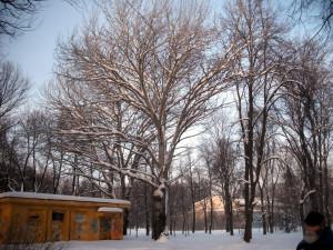 Дерево в парке