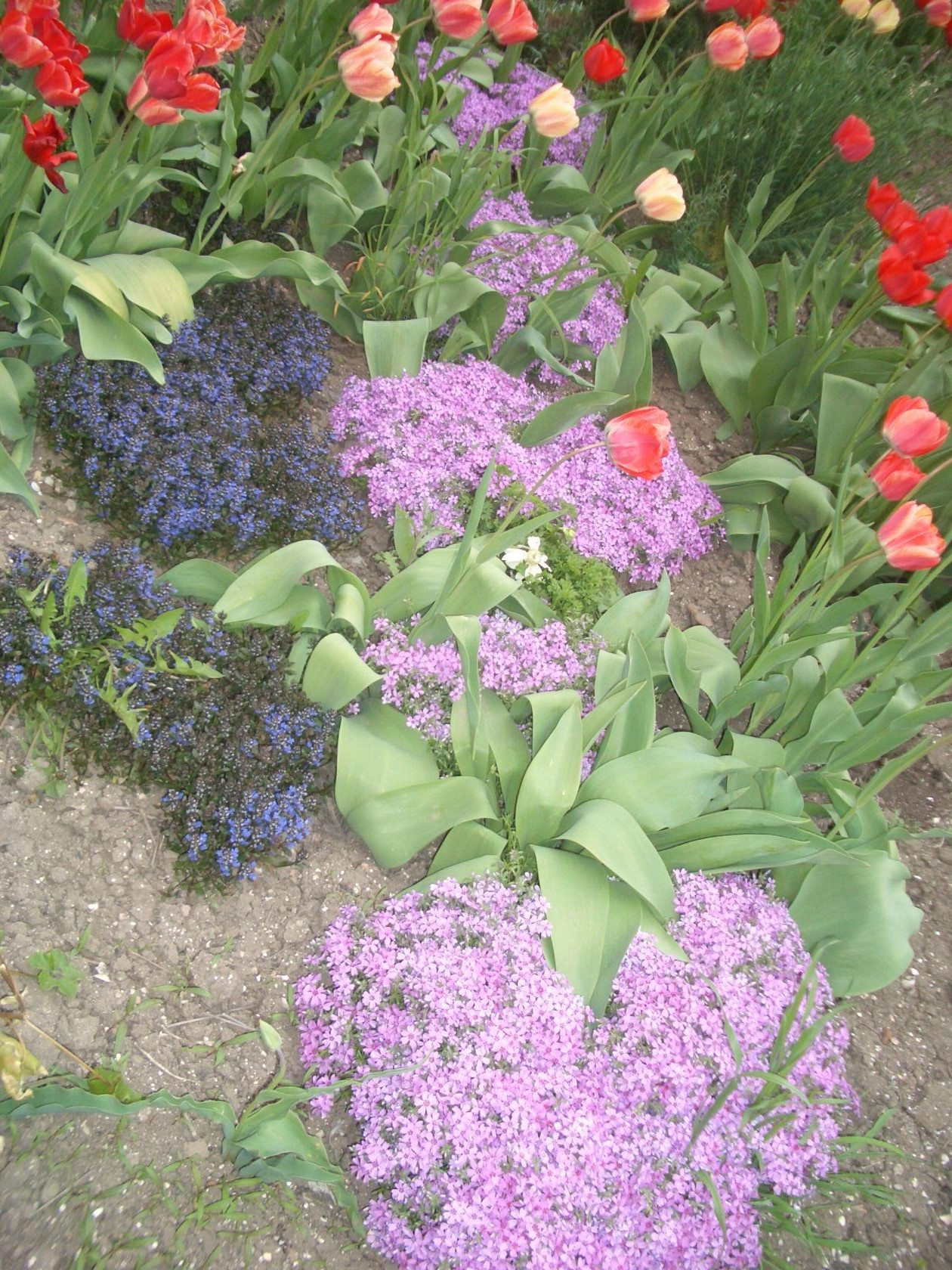 Камнеломки с тюльпанами. Я уже выводила этот снимок, — но есть недовольные ) малым форматом. По их требованию ставлю крупно )