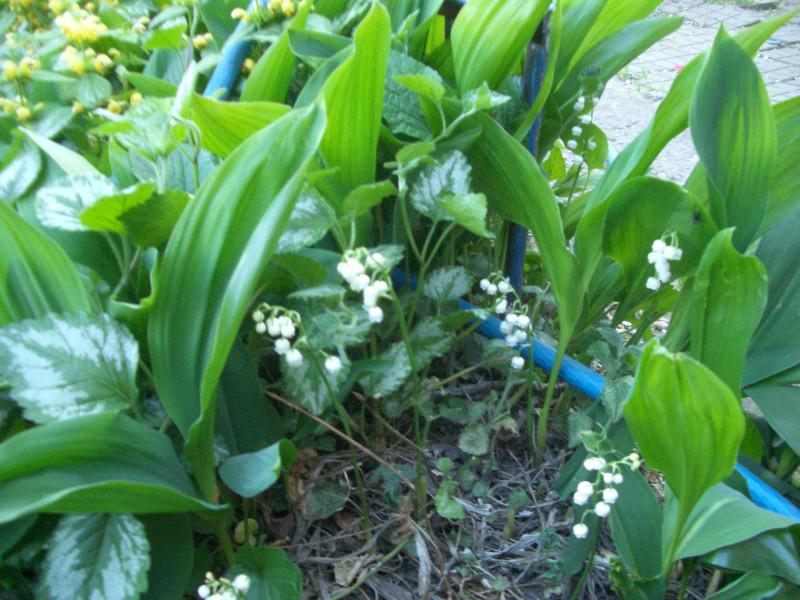 Ландыш, забивает весь огород, стал сорняком. Вырубаю нещадно ) Не, вру. — люблю ) А после цветения вырубаю )
