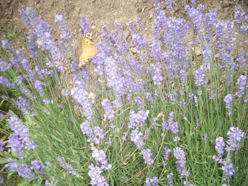 Лаванда и десятки бабочек над нею. Увидели планшет — застеснялись и слетели )