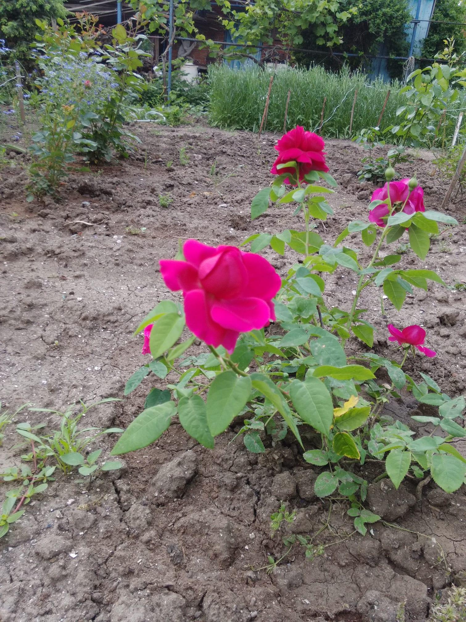 роза Марина