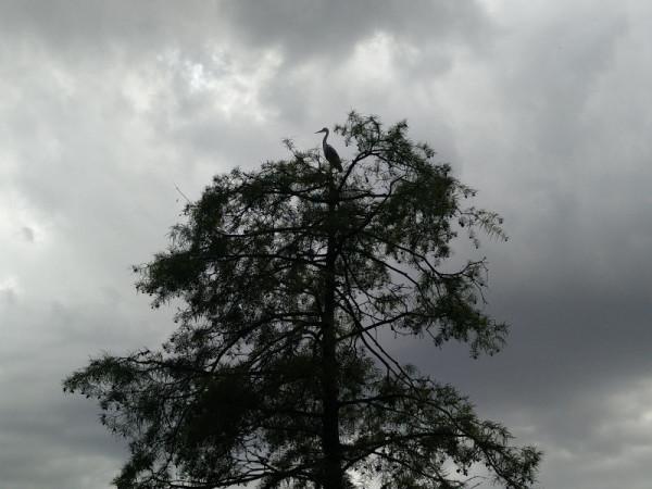 Цапля на дереве