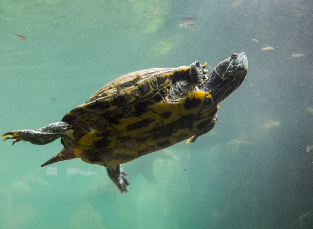 элдридж один фото водоплавающих черепах оточенні немає настільки