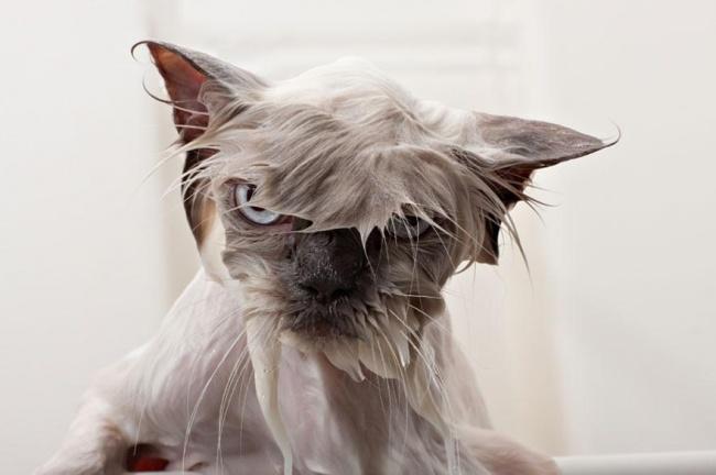 кот мытый