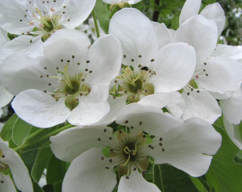 Цветы_груши