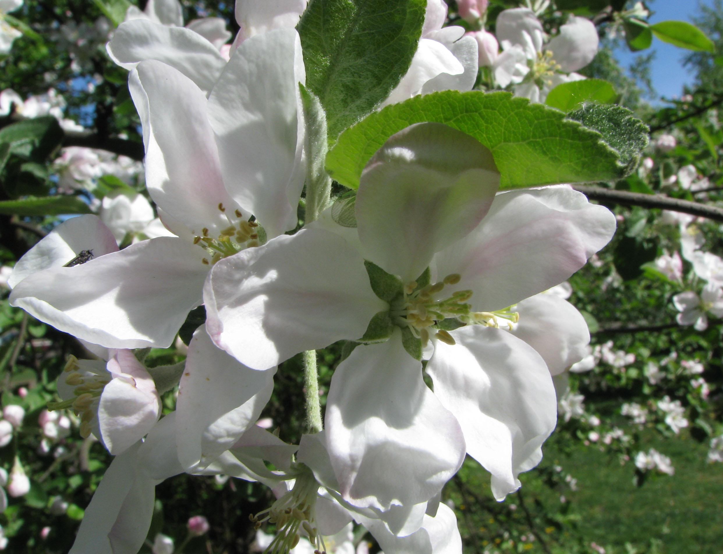 Цветы_яблони