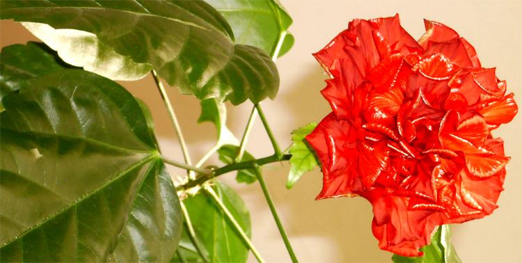Взят в АСПУ в 1986. Цветёт непрерывно.