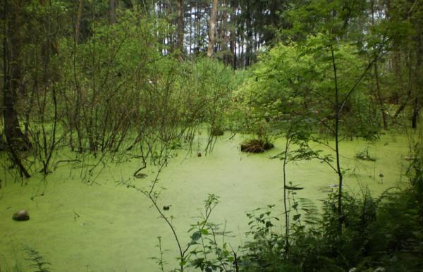 Болото-озеро в лесу