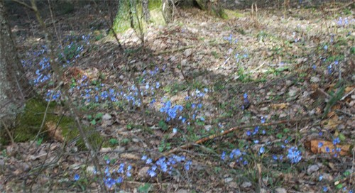 Весна. Печёночница