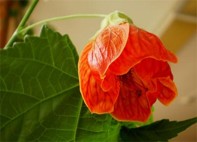 Цветок абутилона