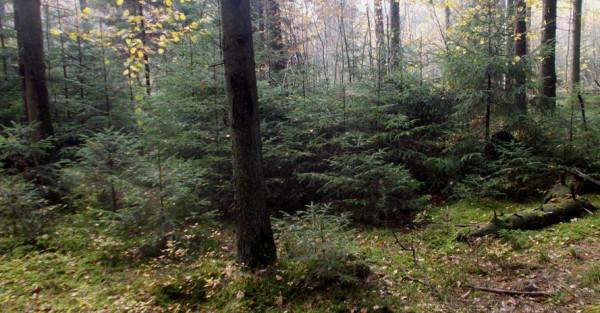 Молодой ельник в редком лесу. Осень 2014