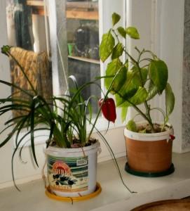 Посев из первого урожая посева новосибирских семян