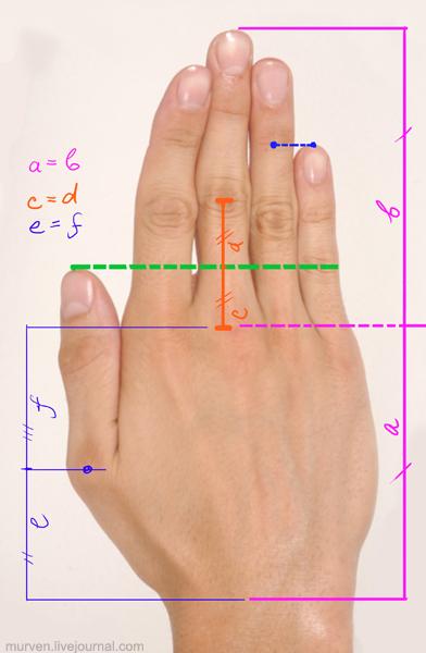 пропорции кисти руки
