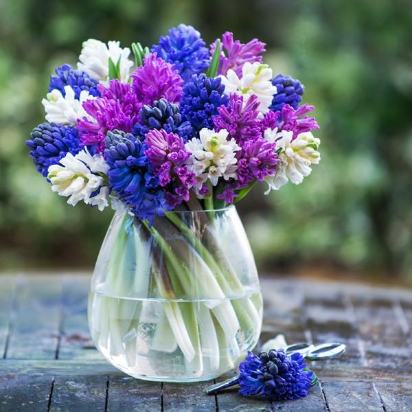 091_01_fragrant_hyacinths