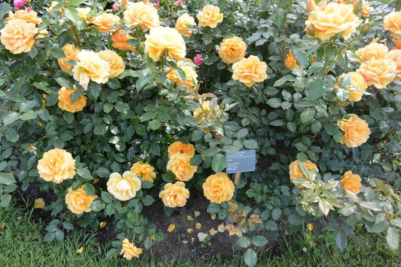 rosy mnogo must have