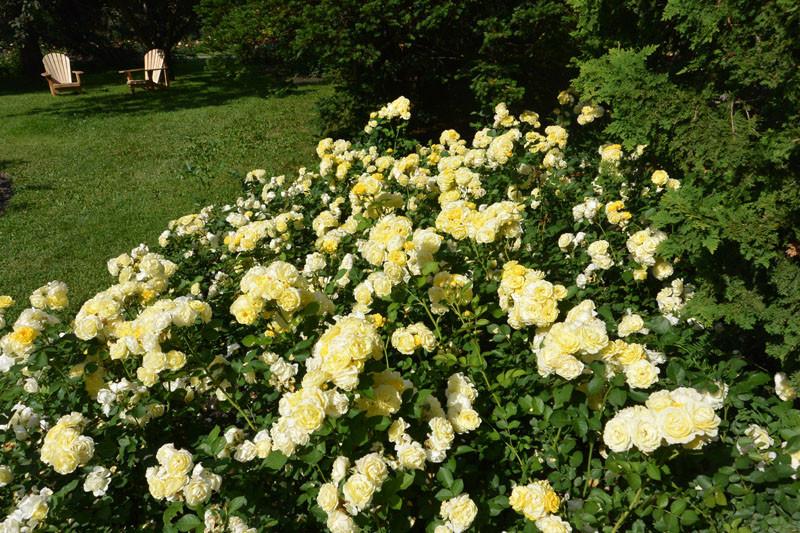 rosy mnogo zelt