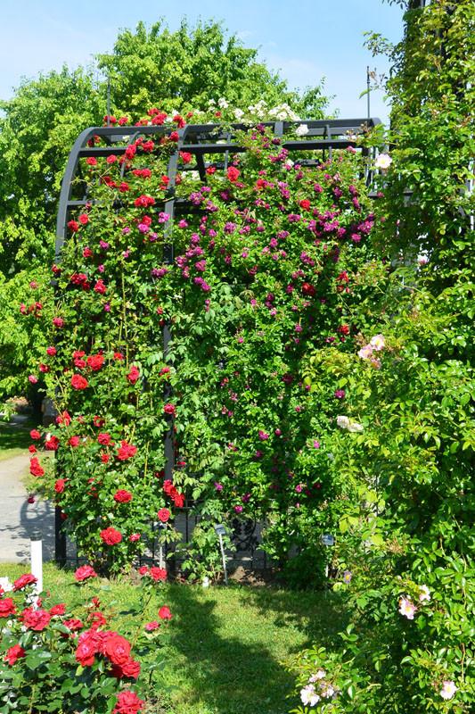 rozy mnogo fiol
