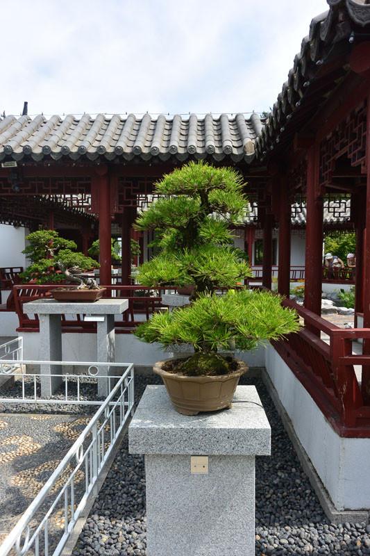 china bonsay 2