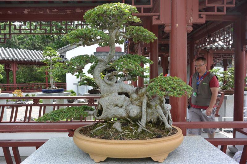 china bonsay 3