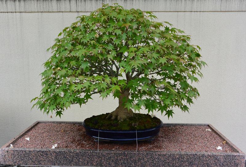 japan bonsay klen