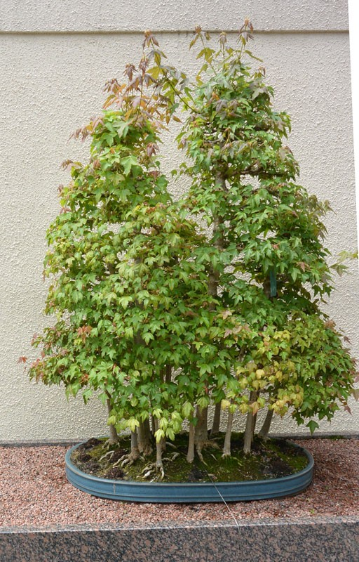 japan bonsay rocha