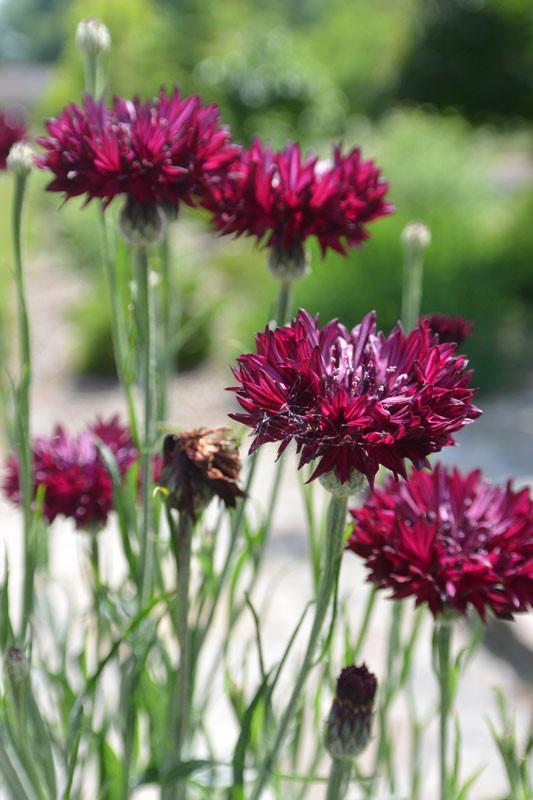 zvetnik gvozdika