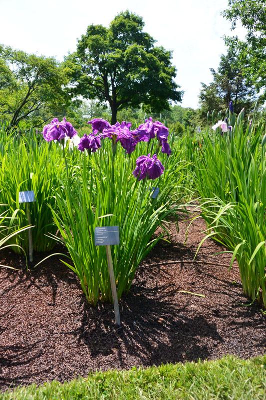 zvetnik iris