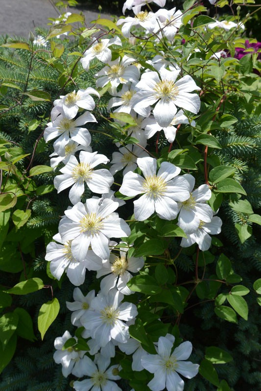 zvetnik klem bel