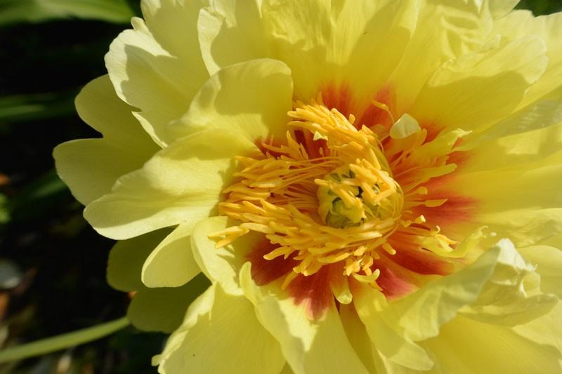 zvetnik pion