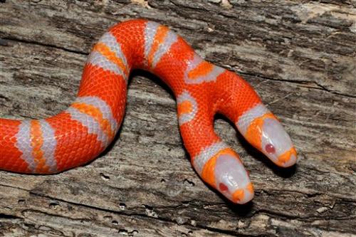 змея две головы