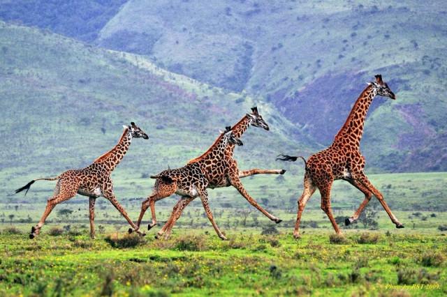 Как рождаются жирафы
