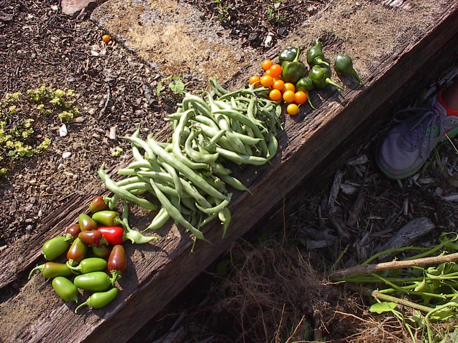 A modest mid season Harvest Urban Garden 2012