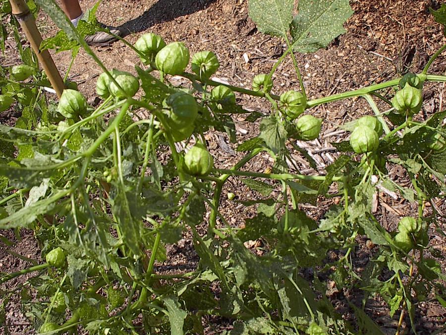 Tomatillos at the Urban Garden 2012