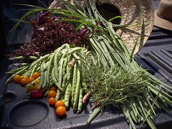 More harvest Urban Garden 2012