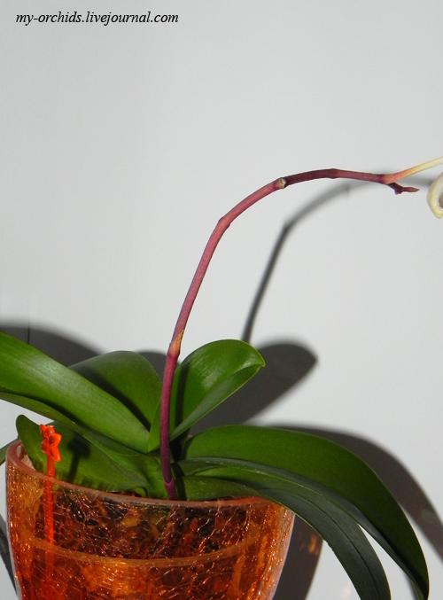 Болезнь стебля орхидей