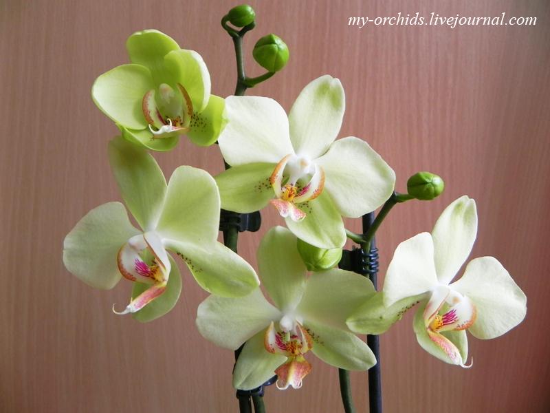 орхидея уход  фаленопсис