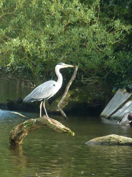 Heron in Queens park, Longton